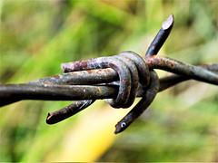 Sharp Rust (rachael242) Tags: sharp metal green barb wire abstract rust macromondays macro mondays garden yard weeds grass fence barrier