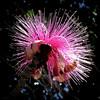 Silk tree flower (PeterCH51) Tags: usa us florida albizia mimosa pink flower silktree seidenbaum seidenakazie albizie mimosoideae square squareformat peterch51 marieselbybotanicalgardens botanicalgarden sarasota