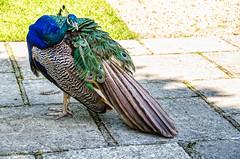 Peacock,Larmer Gardens ,Wiltshire. (berenice29) Tags: peacock larmergardens wiltshire nikond7000