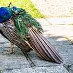 Peacock,Larmer Gardens ,Wiltshire. thumbnail