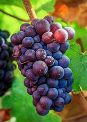 Pinot Gris grape cluster (Rod Heywood) Tags: grapes wine pinotgris cluster grapecluster colorful burgundy purple fruit vineyard vines grapevine montereycounty santaluciahighlands santaluciamountains centralcoast california agriculture salinasvalley soledad gonzales salinasriver stilllife