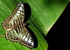 il giorno e la notte... (andrea.zanaboni) Tags: farfalla butterfly green verde natura nature colori colors nikon macro farfallaverde