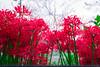 _DSC2167 (sayo-tsu) Tags: lycoris 彼岸花 曼珠沙華 saitama sattecity gongendopark 権現堂 ヒガンバナ