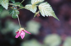Rubus spectabilis 3, Saddle Mountain State Park 2017 (Sara J. Lynch) Tags: sara j lynch nikon n50 35mm film rubus spectabilis saddle mountain state park pink flower salmonberry wildflower fruit edible berry salmonberries