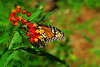 Monarch Followed by Two Small Bugs (Michele Baxley) Tags: monarch butterfly insect flying butterflyweed wings orange red macro macrophotography michelenbaxley