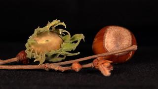 Avellana / Haselnuss / Hazelnut