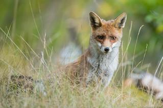 Renard Roux Vulpes Vulpes Red Fox