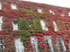 Parthenocissus in autumn (wallygrom) Tags: england westsussex worthing thesteyne chatsworthhotel parthenocissus climber vine autumncolour foliage leaves autumn
