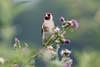 """Goldfinch  -  Stieglitz (CJH Natural) Tags: goldfinch stieglitz finch fink bokeh pink green thistle flower eating snacking feeding light bird vogel avian natural nature natur wild wildlife outdoor feather beak bill birder birding birders christopherharrisorg flickr fluidr """"nikon d500"""" nikon nikkor 200500mm edvr telephoto remerschen licht"""