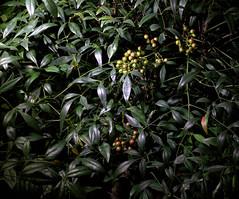 _MG_1964.CR2 (jalexartis) Tags: nandinadomestica nightphotography night nightshots lighting shrub shrubbery camranger lumecube