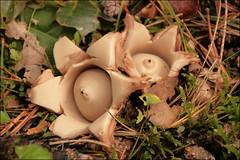 Gekraagde Aardster (Geastrum triplex) (TeunisHaveman) Tags: paddestoel mushroom herfst geastrum fungo funghi