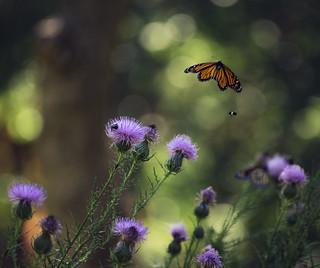 monarch and thistle season