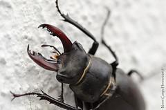 Ciervo volante macho (Noemi Campo) Tags: lucanuscervus ciervovolante insecto coleoptero escarabajo lucanidae stagbeatle