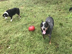 (Cheeseisboss) Tags: littlebuddies dogs balltime mitchell kenny