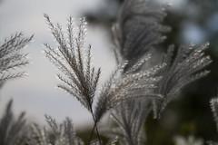 Willowy (jer1961) Tags: toronto caledoniapark northpark soft softfocus