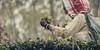 Careful picking (Frank Busch) Tags: frankbusch frankbuschphotography assam india lakhimpur tea teagarden teaplantation tribesofindiawithintheframe withintheframe withintheframeadventures woman wwwfrankbuschname
