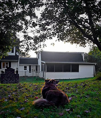 Enjoying the Mild Weather (One Day Of Sun -- It's So Lovely!!!) Tags: ddc 2155 undertheweather inthebackyard shizandra house undertheredmaple tree dog bordercolliemix