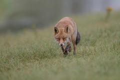 R17_0562 (ronald groenendijk) Tags: cronaldgroenendijk 2017 rgflickrrg vulpesvulpes animal fox groenendijk holland nature natuur natuurfotografie netherlands outdoor rodevos ronaldgroenendijk vos wildlife
