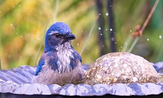 Sunday Bath (robinlamb1) Tags: outdoor nature animal bird westernscrubjay californiascrubjay aphelocomacalifornica aldergrove garden birdbath rarebird