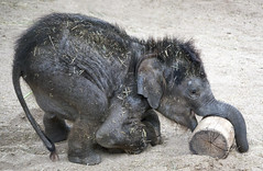 The Playful Buba (Ganymede: Photography) Tags: getty images elephant baby animal nature buba zoo aquarium madrid batan play playful asian contest photography cute lovely love child boy little playing enjoying happy happiness casa de campo 2013 stock wood wooden dirt dirty