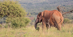 African elephant, Pilanesberg, South Africa (Knud Hald) Tags: 2017 africa canon canon6d canonef400mmf56l knudhald limpopo outdoor pilanesberg pilanesbergsouthafrica2017 safari southafrica wildlife ngc albatrostravel canonef400mmf56lusm ef400mmf56lusm fauna nature naturewatcher naturelover nationalgeographicsociety beautiful africanelephant elephant entabenisouthafrica animal animaladdiction wildanimals mammal