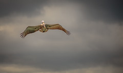 observe (Steven-ch) Tags: lasbachas ecuador beach cloudy southamerica travel eos6d bird flying pelican galapagos canon hunting islasantacruz animal islasgalápagos ec