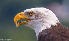 American Bald Eagle (Cees Bults) Tags: bald eagle