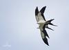Swallow-Tailed Kites (Natureklicks by Liza Morffiz) Tags: swallow tailed kites florida outddors bird raptor prey nature wildlife skimming