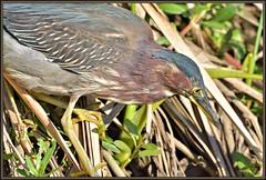 Shoulder to shoulder (WanaM3) Tags: wanam3 texas pasadena clearlakecity horsepenbayou bayou outdoors nature wildlife canoeing paddling animal bird closeup heron greenheron