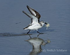 DSC_2940_46_LR (cschifano) Tags: nikond810 withmytamron tamron150600 newjersey nj shore njshore ibsp islandbeachstatepark ocean beach sandpiper shorebirds