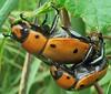 Grapevine Beetle, Pelidnota punctata, Bowman's Hill Wildflower Preserve (Seth Ausubel) Tags: coleoptera scarabaeidae rutelinae