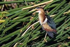 Hello? (craig goettsch) Tags: leastbittern hendersonbirdviewingpreserve2017 avian animal reeds nature wildlife nikon d500 coth5