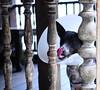 ,, Legs The Zoomer ,, (Jon in Thailand) Tags: legsthezoomer dogtongue dogeyes dogcone dognose dogears dog k9 jungle themonkeytemple nikon nikkor d300 175528 pickets woodenpickets pinkdogtongue conehead monkeywound littledoglaughedstories