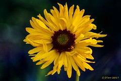 IMG_8748 wild flower (starc283) Tags: flickr flicker flora forest flower canon canon7d colorado nature naturesfinest starc283
