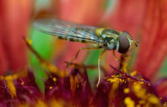 fly on flames (Simple_Sight) Tags: fly hoverfly flames flower blossom red yellow black garden outdoors macro bokeh closeup
