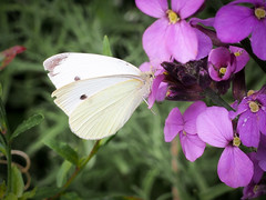 Small White (mickmassie) Tags: gardentq209783 insecta lepidoptera