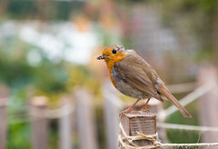 The little postman HFF! (Photography by Julia Martin) Tags: photographybyjuliamartin fencefriday fenceposts robin canon5dmarkiv