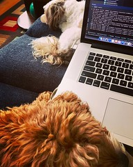 Computer Helpers - POTD #194 (sdobie) Tags: 2017 coding computers dogs intellij macbook oliver pets potd roland 600views