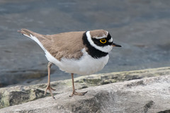 A semipalmated Little Ringed Plover (Tim Melling) Tags: charadrius dubius little ringed plover yorkshire timmelling