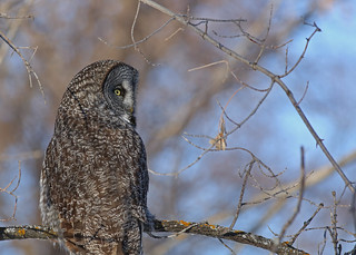 Great Gray Owl...#13