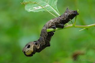 Raupe des Mittleren Weinschwärmers (Deilephila elpenor) auf Springkraut