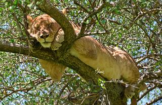 Celebrate World Lion Day - Very Sleepy Lion in Balanite Tree - Masai Mara, Kenya - 5085b+