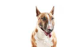 portrait of purebreed bull terrier sitting on white background w (cherlatus) Tags: dog pet terrier animal bull white mammal canine purebred domestic portrait studio background isolated cute happy adorable breed pedigree funny fun one strong muscular dangerous fighter pedigreed staffordshire bullterrier studioshot oneanimal domesticanimals copyspace cutout animalthemes animalhead mouthopen sitting happiness smiling purebreddog looking staring brown curiosity pets whitecolor partofaseries conceptstopics strength