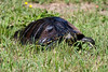 Decaze034 (Bobby's Road Photography) Tags: animaux animal tortue turtle tortuga chelonian proxy macro green wild outdoor florida reptile carapace head fujifilm xt2 90mm nature