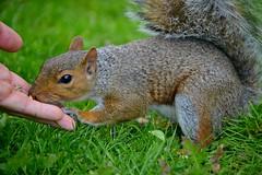 Friends. (giuliaph.) Tags: squirrel scoiattolo cute mileend london londra mileendpark animal nature park cool friends amici verde colori colours animals animali natura green hand food