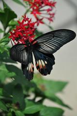 シロオビアゲハ ベニモン型か? (yuki_alm_misa) Tags: シロオビアゲハベニモン型 シロオビアゲハ 蝶 チヨウ 多摩動物公園 butterfly 蝶々 zoo 動物園 tamazoologicalpark