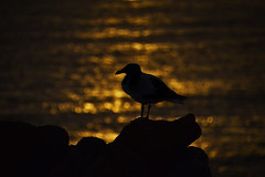 seagull (frejapetrie) Tags: seagull seabirds seaside coast wildlife sunset light nikon d3200 tamron frejapetriephotography
