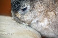 2 (Protty coniglio nano) Tags: coniglio conigli protty bunny bunnies rabbit rabbits kaninchen lapin coniglietti coniglionano prottyit coniglinani oryctolagus oryctolaguscuniculus