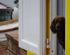 Beach Hut Resident (Balticson) Tags: dog spaniel browndog beachhut seaside devon teignmouth waterside