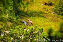 IMG_9700 (Photographie Maria) Tags: alm bergsee ennstal gipfel natur panorama reiteralm rippeteck schafe spiegelsee wandern ziege